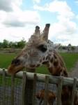 Girafe3.JPG