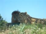 Lions vus de l auto Sigean.JPG