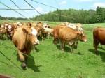 Vaches_été20083.JPG